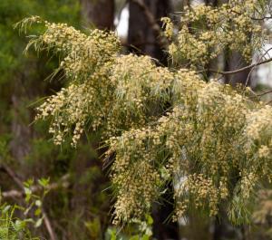 Acacia Cognata Narrow Leaved Bower Wattle Atlas Of Living Australia