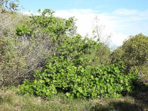 Hibiscus Tiliaceus Native Hibiscus Atlas Of Living Australia