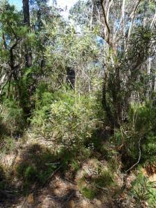 Acacia Obtusifolia Atlas Of Living Australia