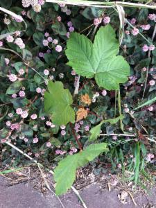 Acer Pseudoplatanus Scottish Maple Atlas Of Living Australia