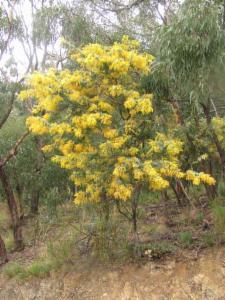 Acacia Baileyana Baileys Wattle Atlas Of Living Australia